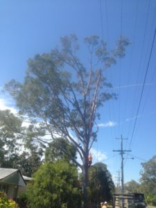 blue-gum-near-power-lines-before