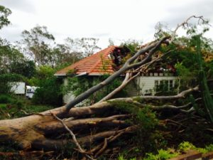 Storm Damage, large-spotted-gum, Aspley